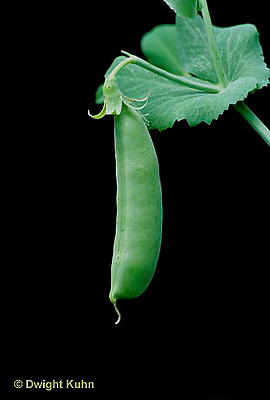 HS26-002a  Pea -  edible sugar pea pod - Sugar Ann variety