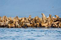 Steller Sea Lions, Eumetopias jubatus, on haulout, Alaska