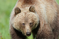 Grizzly Bear (Ursus arctos).  Banff National Park, Alberta Canada.  June.