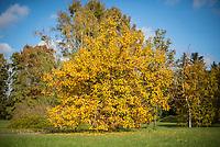 Ein Zierapfelbaum (lat. Malus) im Herbst.<br /> 24.10.2020, Berlin<br /> Copyright: Christian-Ditsch.de