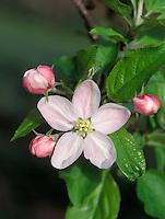 Apple blossom - king bloom. WA