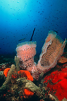 azure vase sponge, Callyspongia plicifera, flurescens in natural light, Scots Head, Soufiere Marine Reserve, Commonwealth of Dominica, Caribbean, Atlantic