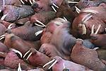Walrus group, Alaska