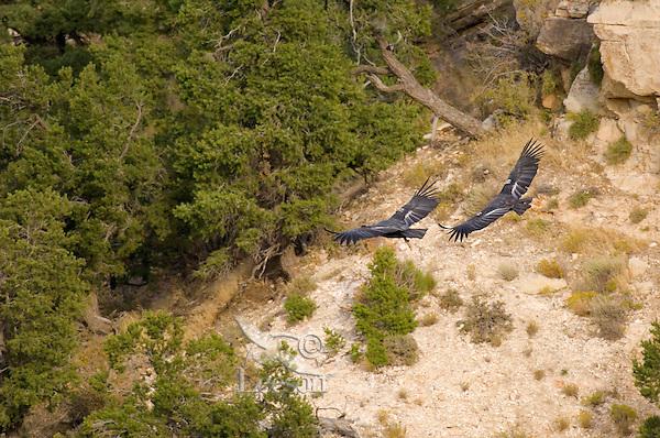 California Condors (Gymnogyps californianus) flying.  Western U.S.