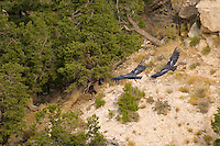 California Condors (Gymnogyps californianus) flying.  Western U.S.