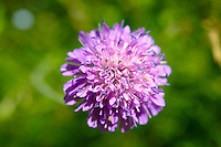 Alpine Scabious ( Cephalaria Alpina ) Wild meadow flower - Grindelwald Switzerland