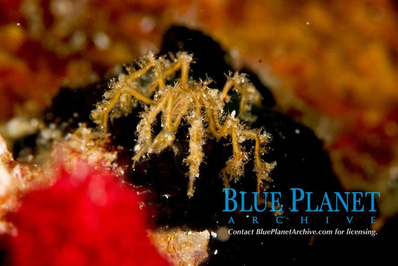 Spider crab, acheus japonicus. Grows to 2cm. Raja Ampat, West Papua, Indonesia