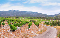 Domaine d'Aupilhac. Montpeyroux. Languedoc. Mont Baudile and the plateau. Calcareous limestone plateau called rendzine. Terroir soil. France. Europe. Vineyard. Mountains in the background. Soil with stones rocks. Calcareous limestone.