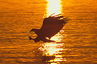 Bald Eagle fishing.  Pacific Northwest.  Sunset.
