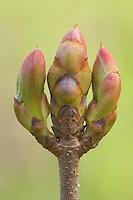 Texas Buckeye, Aesculus glabra, Uvalde County, Hill Country, Texas, USA, April 2006