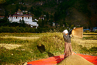 A farm-lady gathers wheat grains in the warm evening light with Paro Dzong in the background, Paro, Bhutan