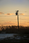 Utility poles and lines with sea grass and  tassels along route 1.