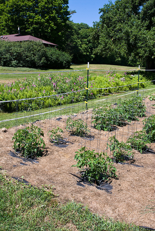 Vegetable garden with caged tomatoes, mulched with straw, deer electric fencing fence, protected, lawn grass, wide view with house, trees, shrubs, blue sunny sky