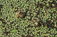 Rio Grande Leopard Frog, Rana berlandieri, young in duckweed camouflaged, Lake Corpus Christi, Texas, USA, May 2003