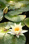 A water lily (Nymphaea odorata) blooms among other lily pads in a man-made pond