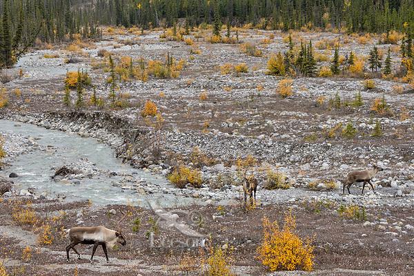 Three Woodland Caribou or mountain caribou (Rangifer tarandus caribou) walking up along mountain stream, Northern Rocky Mountains,  British Columbia.  Fall.