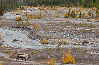 Three Woodland Caribou or mountain caribou (Rangifer tarandus caribou) walking up along mountain stream, Northern Rocky Mountains,  British Columbia.  Fall.