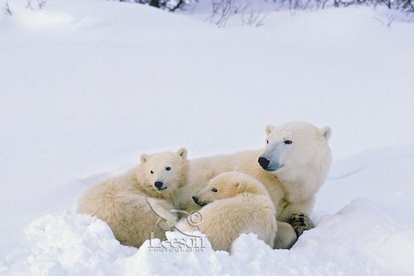 Polar bear (Ursus maritimus) mother with cubs.  Canadian arctic.