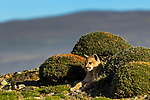 Mountain Lion (Puma concolor) six month old kitten, Torres del Paine National Park, Patagonia, Chile