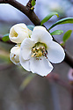 Flowering or Japanese quince (Chaenomeles speciosa 'Nivalis'), mid March.
