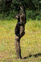 Baby black bear cub in a field of flowers on a dead tree stump in Yosemite, Calif.