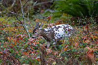 Piebald Columbian Black-tailed Deer or Coastal Black-tailed Deer (Odocoileus hemionus columbianus) in rain.  Late Fall, Pacific Northwest.  This is a fawn born in May or June in November (roughly 6 months old).<br /> <br /> Piebaldism is a rare genetic anomaly in deer that can include a range of potential deformities, from coat coloration to skeletal alignment, from mild to severe. This is because some of the same genes that code for coat color also code for other physical traits.  Piebaldism is a recessive trait; it is believed that both parents must carry the recessive gene for there to be a chance that they will produce piebald fawns. It's also possible for a piebald doe to reproduce and bear normal fawns.