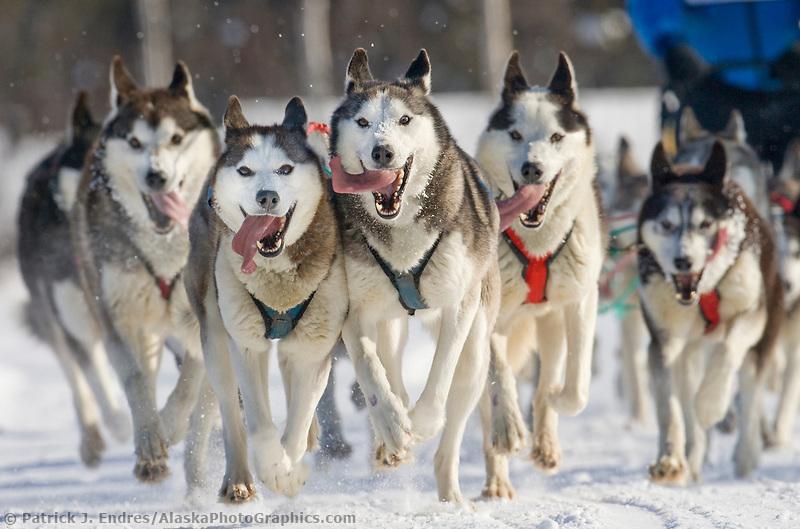 Siberian husky dog team during the 2007 Open North American Championship sled dog race (the world's premier sled dog sprint race) is held annually in Fairbanks, Alaska.