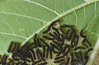Bordered Patch (Chlosyne lacinia), caterpillars on leaf of on Common Sunflower (Helianthus annuus), Hill Country, Central Texas, USA