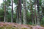 Pine (Pinus sp) forest and Heather (Calluna vulgaris), Scottish Highlands, Cairngorms National Park, Scotland, United Kingdom