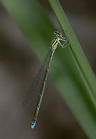 Stream Bluet (Enallagma exsulans) Damselfly - Female, Wallkill River NWR, Sussex, Sussex County, New Jersey