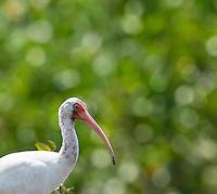 An American white ibis patrols the beach along the Rio Tarcoles.
