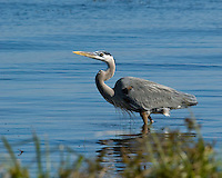 Great Blue Heron, Choke Canyon State Park, Three Rivers, Texas