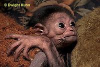 MA43-003z   White-handed Gibbon - young - Hylobates lar