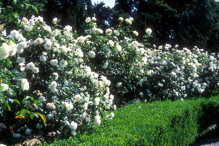 Rosa Iceberg floribunda rose shrub with white flowers, barrier hedge in landscaping