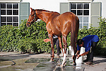 Animal Kingdom being bathed after morning exercise at Palm Meadows Training Center. Boynton Beach, Florida. 01-26-2012
