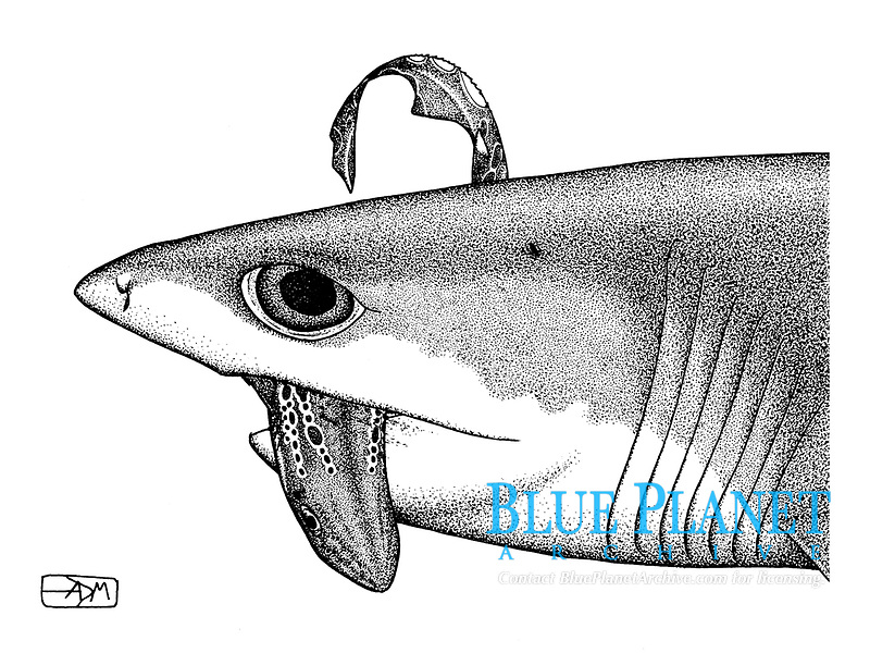 Sharpnose sevengill shark, Heptranchias perlo, capturing blackmouth catshark, Galeus melastomus, pen and ink illustration.