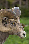 Big Horn Sheep; Logan Pass, Glacier National Park, Montana.