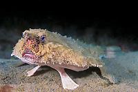 shortnose batfish, Ogcocephalus nasutus, Dominica , Caribbean, Atlantic