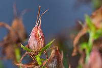 Johanniskraut, Frucht, Früchte, Tüpfel-Johanniskraut, Echtes Johanniskraut, Durchlöchertes Johanniskraut, Tüpfeljohanniskraut, Tüpfel-Hartheu, Hartheu, Hypericum perforatum, St. John´s Wort, Tipton's weed, rosin rose, goatweed, chase-devil, Klamath weed, Le millepertuis perforé, millepertuis commun, millepertuis officinal