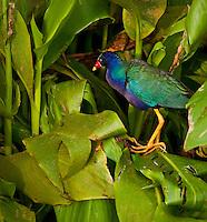 Purple Gallinule in Green Arrow Arum at Green Cay Wetlands, Boca Raton Florida