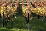 A autumn vineyard of Napa Valley, California.