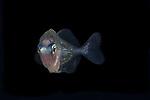 Black Water Diving; Gulfstream Current; Jellyfish; Plankton; SE Florida Atlantic Ocean; larval fish; pelagic creatures; pelagic larval marine life