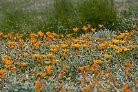 Gazania groundcover orange flowering silver gray foliage perennial at Los Angeles County Arboretum and Botanic Garden