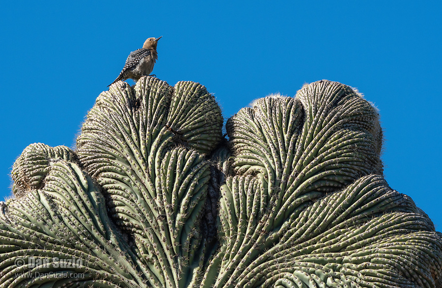 A Gila Woodpecker, Melanerpes uropygialis, perches on a cristate (crested) Saguaro cactus, Carnegiea gigantea, in the Desert Botanical Garden, Phoenix, Arizona