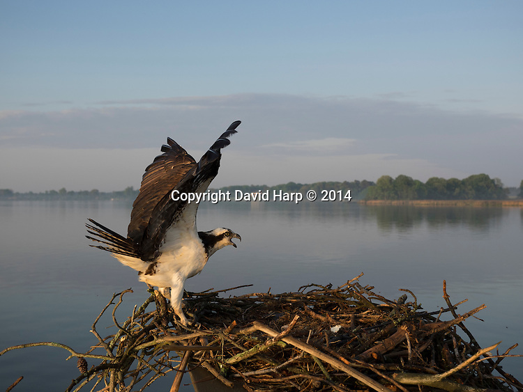 An osprey returns to its nest on an island at the mouth of Raccoon Creek.