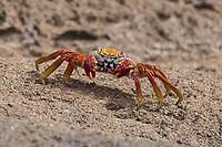 Sally lightfoot crab (Grapsus grapsus) on the beach, Galápagos Islands, Ecuador, South America