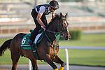 MEYDAN,DUBAI-MARCH 25: One and Only,trained by Shinsuke Hashiguchi,exercises in preparation for the Dubai Sheema Classic at Meydan Racecourse on March 25,2016 in Meydan,Dubai (Photo by Kaz Ishida)