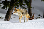 Adult coyote (Canis latrans) walking through woodland in winter. Yellowstone National Park, Wyoming, USA. January.
