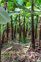 Tanzania.  Mto wa Mbu. Banana Plantation, Showing Proximity of Plants to One Another.