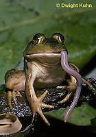 FR09-001z  Bullfrog - eating a worm - Lithobates catesbeiana, formerly Rana catesbeiana